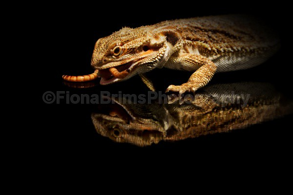reflections-13 - Reptile Photography