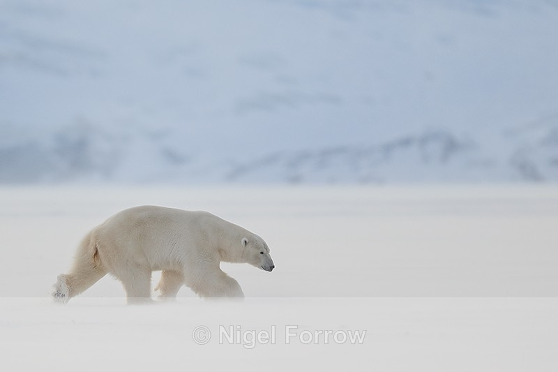 Male Polar Bear striding, Svalbard, Norway - Polar Bear