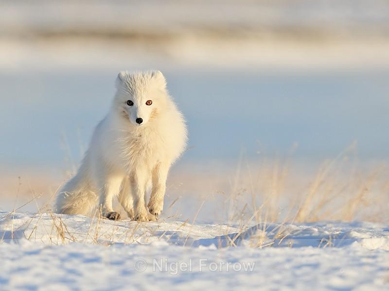 Wide-eyed Arctic Fox, Svalbard, Norway - Arctic Fox