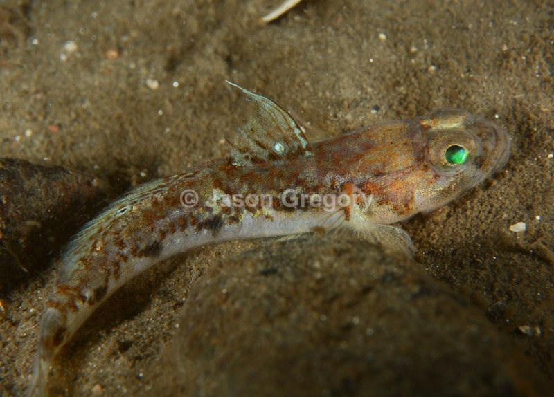 Buenia jeffreysi - Fishes – bony and cartilagous (Pisces)