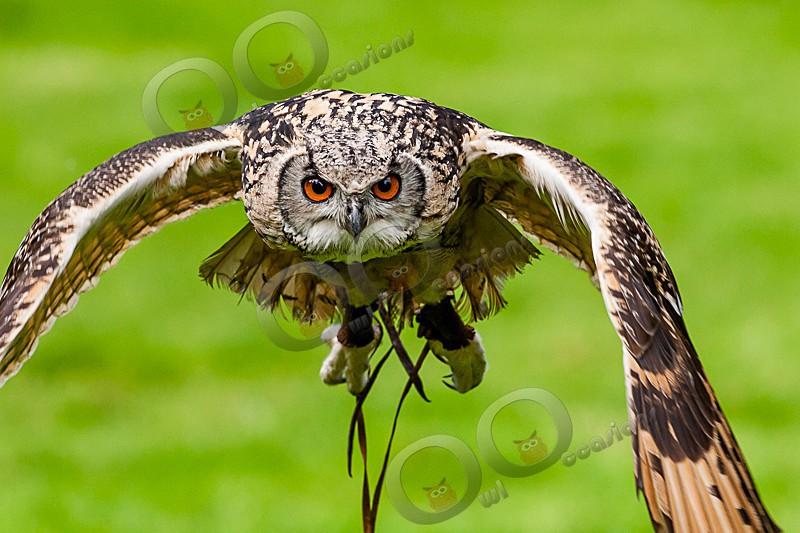 Jasmine the Bengal Owl - Our Birds