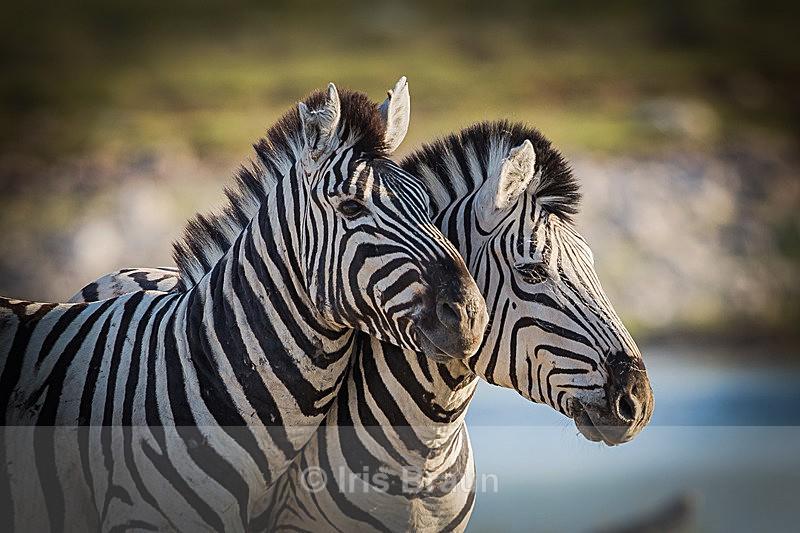 Two Heads - Zebra