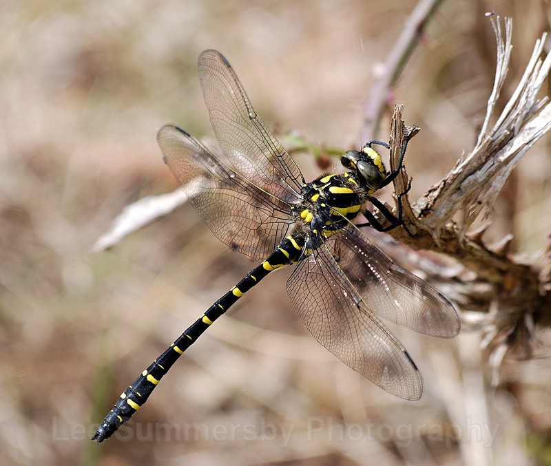 Gold-ringed Dragonfly taken at Dawlish Warren dunes - Dragons and Damsels