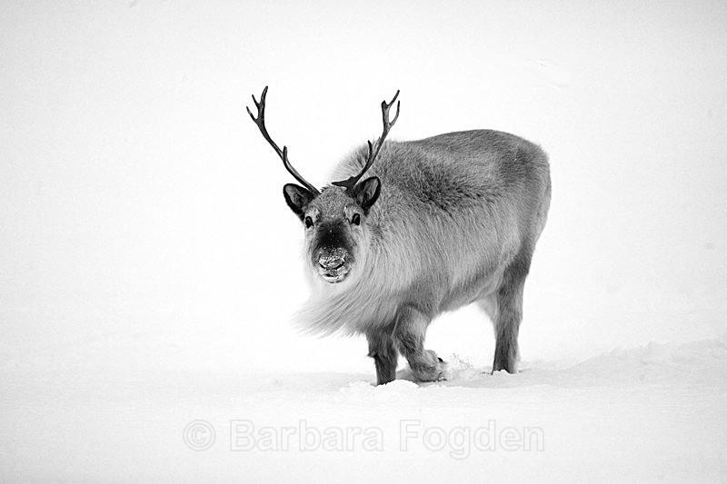 Reindeer 7 - Latest Photos