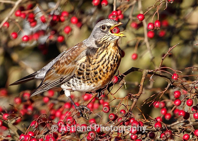 Astland Photography, Bird and Wildlife Images, Susan and Peter Wilson, U.K