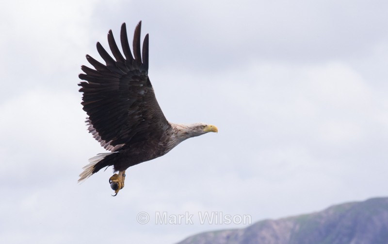 White-tailed Eagle - Birds of prey & owls