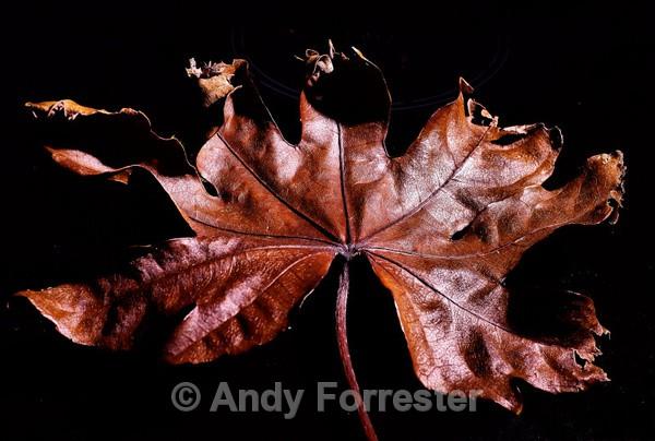 Brown Leaf - Recent