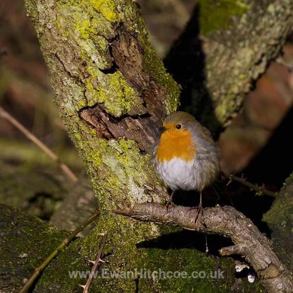 Robin - British Wildlife