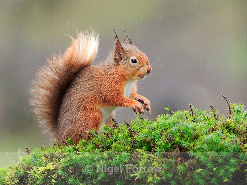Red Squirrel on a mossy perch in heavy rain, Dumfries, Scotland - Squirrel