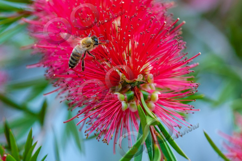 honey bee Apis mellifera-7436 - Insects from around the world