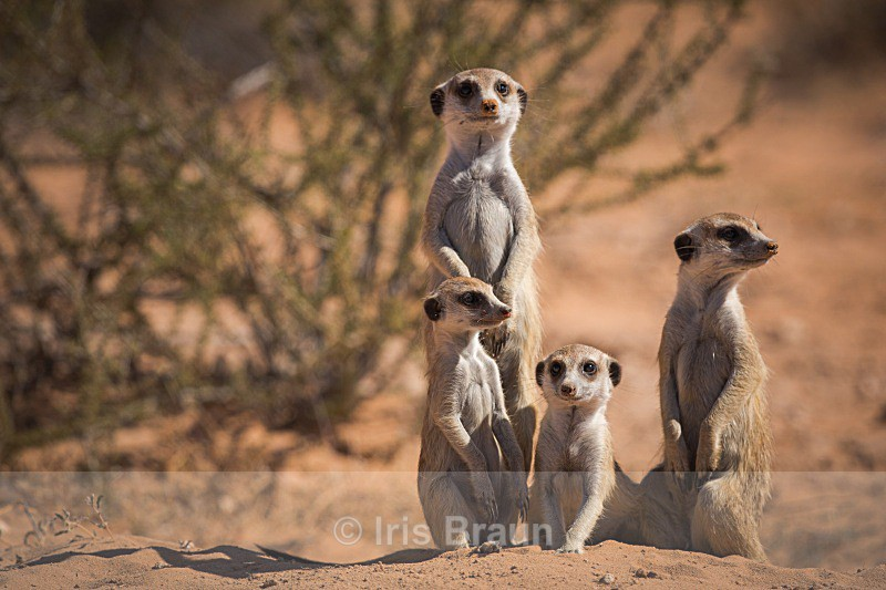 Untitled - Suricate