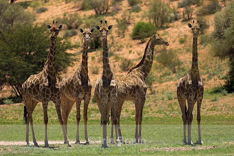 Kalahari Meeting Point - Giraffe