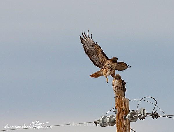 IMG_0934 a - Nevada Birds