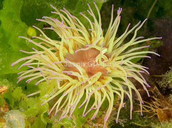 Anemonia viridis - Anemones (Anthozoa)