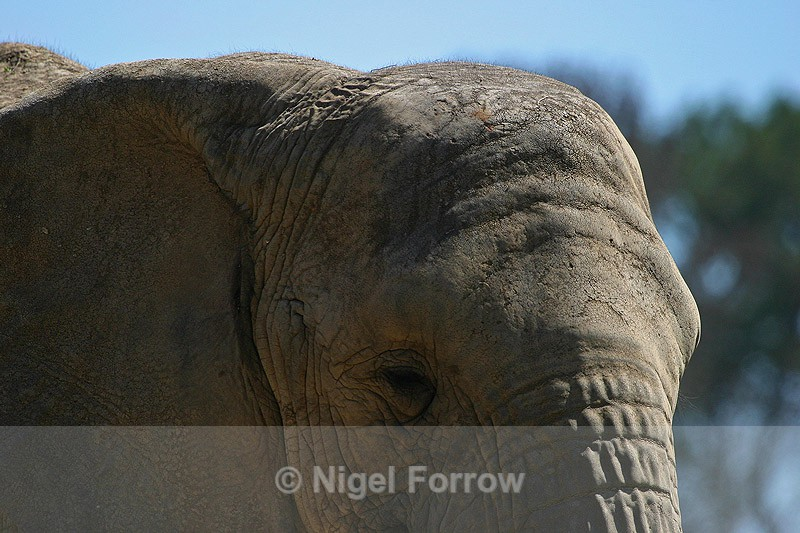 African Elephant close-up - Elephant