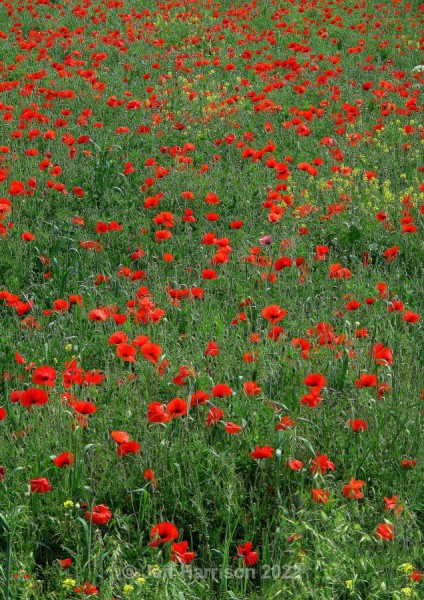 Fenland Poppies (image Pop 01) - Trees, Plants, Flowers & Garden scenes