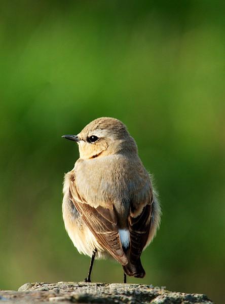 Wheatear - Birds