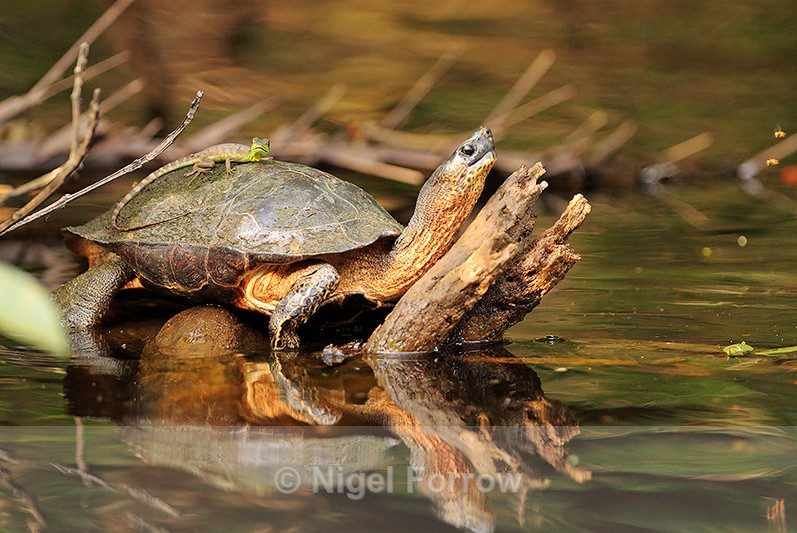River Turtle with a Plumed Basilisk on it's back at Tortuguero - REPTILES & AMPHIBIANS