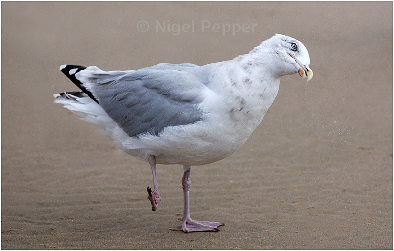 Ready for my close-up - Leggy the Herring Gull