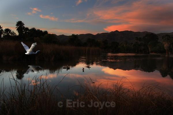 Egret at Dusk - Tuscon, Arizona