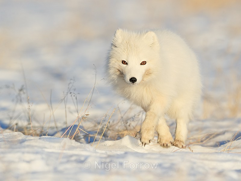 Arctic Fox (white) running, Svalbard, Norway - Arctic Fox