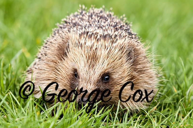 Hedgehog - Mammals