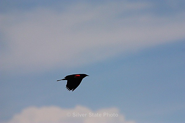 Red-Wing Black BIrd - Nevada Birds