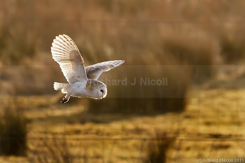 Barn Owl (Tyto Alba) - Barn Owl (Tyto Alba)