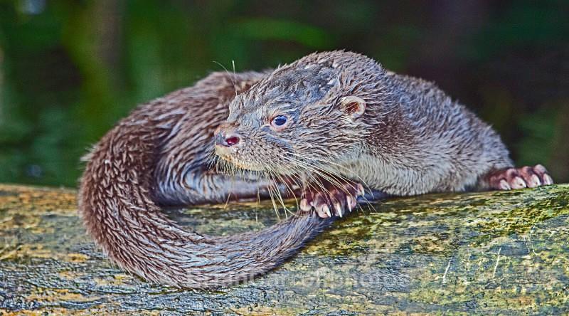 River Otter, Costa Rica - Costa Rican Wildlife