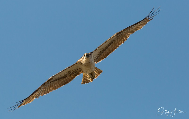 Osprey in Flight 6 - Osprey (For Sale)