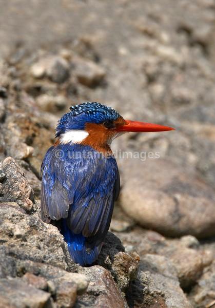 Malachite Kingfisher - Kenya