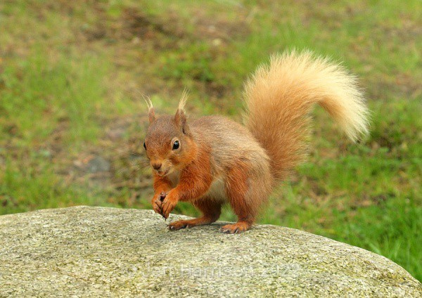 Red Squirrel (RS 01) - Mammals