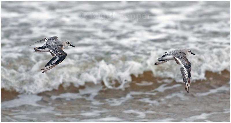 Sanderlings Flying - Sanderlings and Turnstones