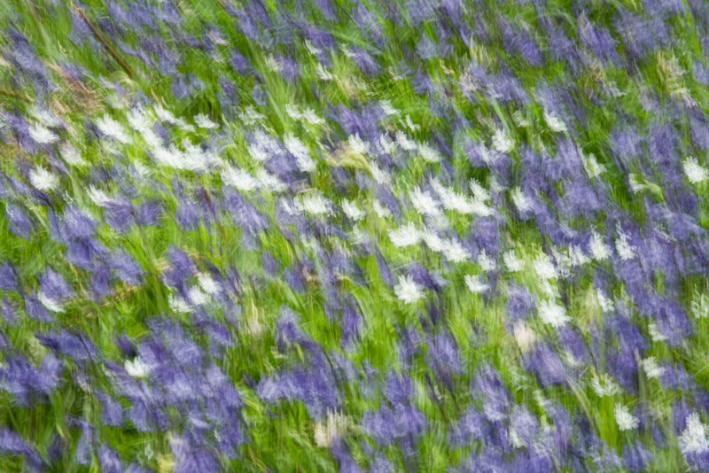 bluebells and daisies - Perthshire