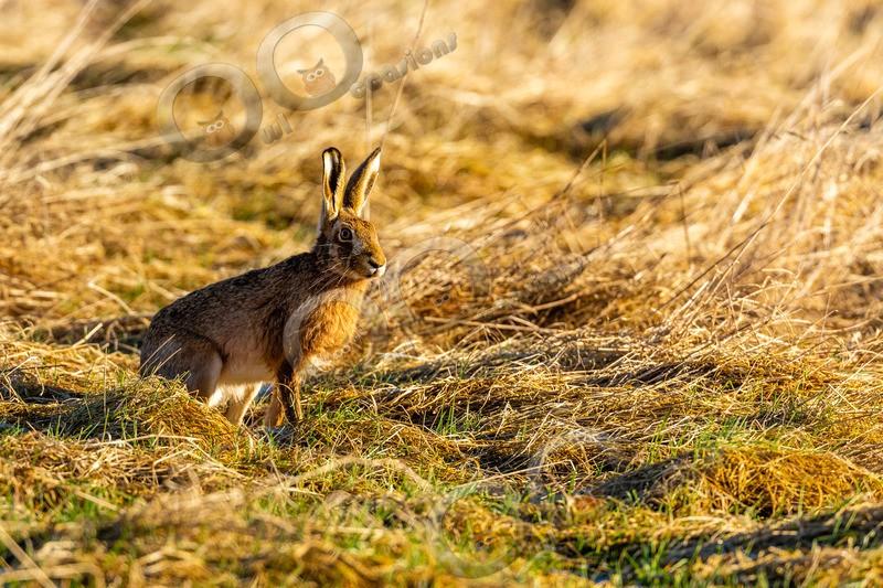 hare Lepus europaeus-4295-2 - UK Wildlife