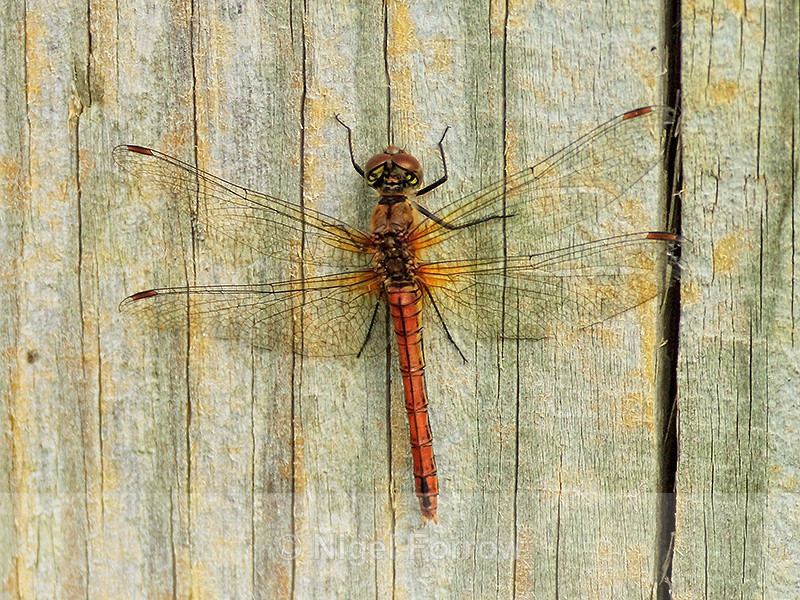 Ruddy Darter (female), Otmoor - INSECTS