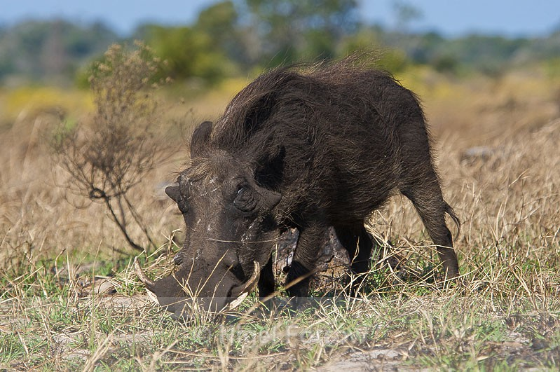 Warthog - Warthog