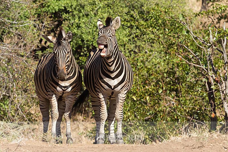 Hilarious - Zebra