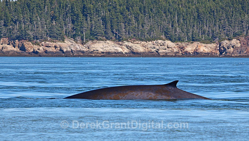 Finback Whale - Bay of Fundy Whales