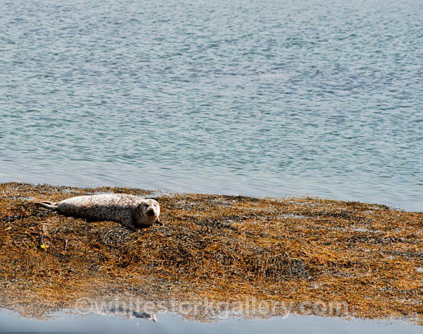 Grey Seal Uist - Scottish Highlands