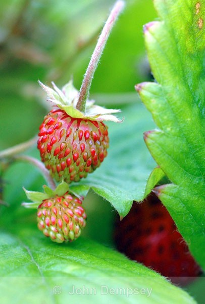 Mountain Strawberries - Plants and Insects