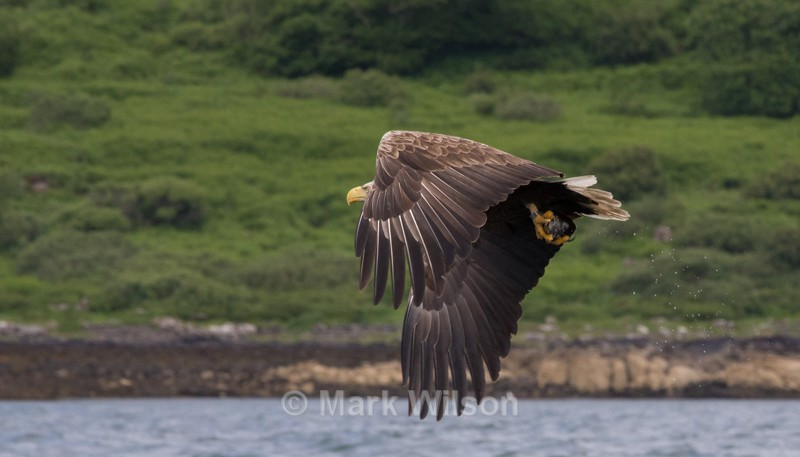White-tailed Eagle - Birds of prey & owls