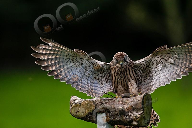 Tin Tin the Kestrel - Our Birds