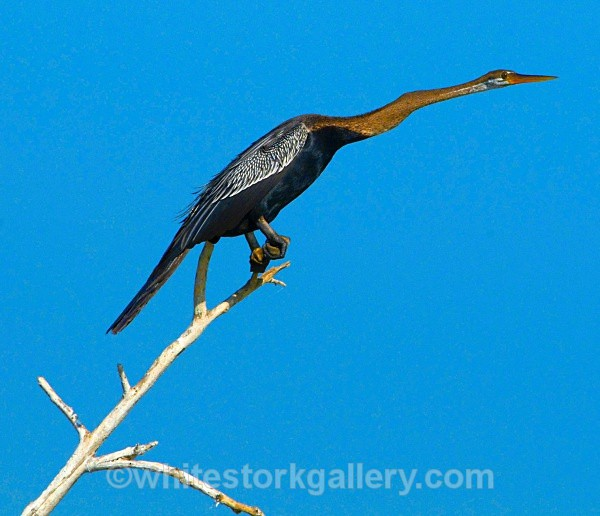 Indian Darter - Wildlife and Animals