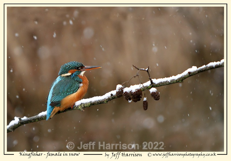 'Kingfisher - female in snow' - Image Kf 006a - Kingfishers