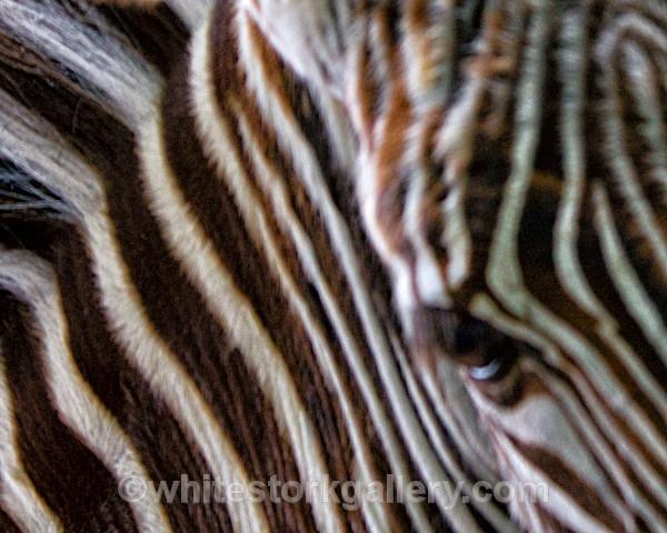Zebra - Wildlife and Animals