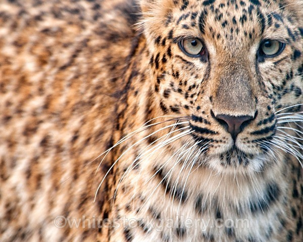 Leopard - Wildlife and Animals