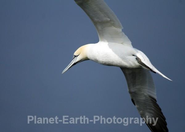 Gannet 1 - UK Wildlife