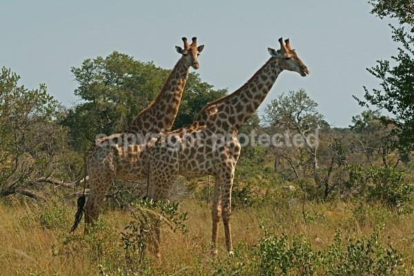 Giraffes Krüger NP, South Africa - African Wildlife