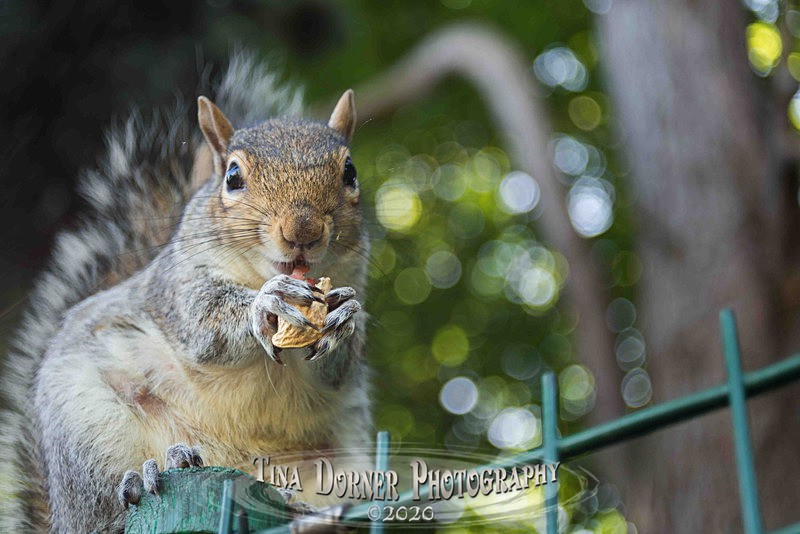 Nutty Squirrel - Animal Portraits